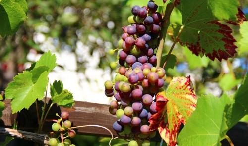 Istoria Vinului