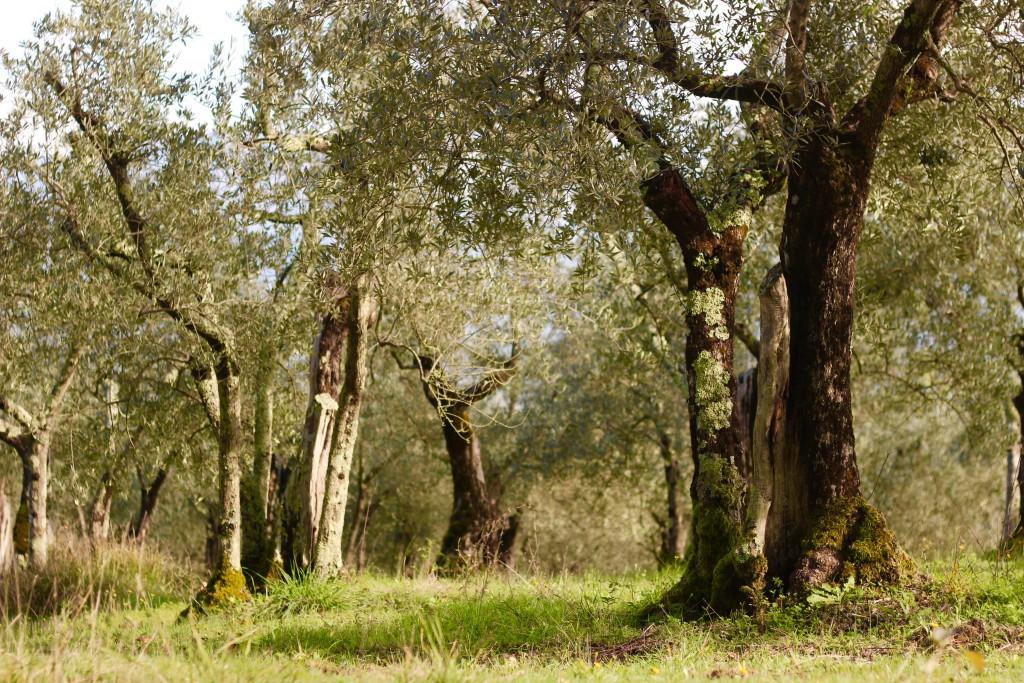 toscana - poderaccio olive trees