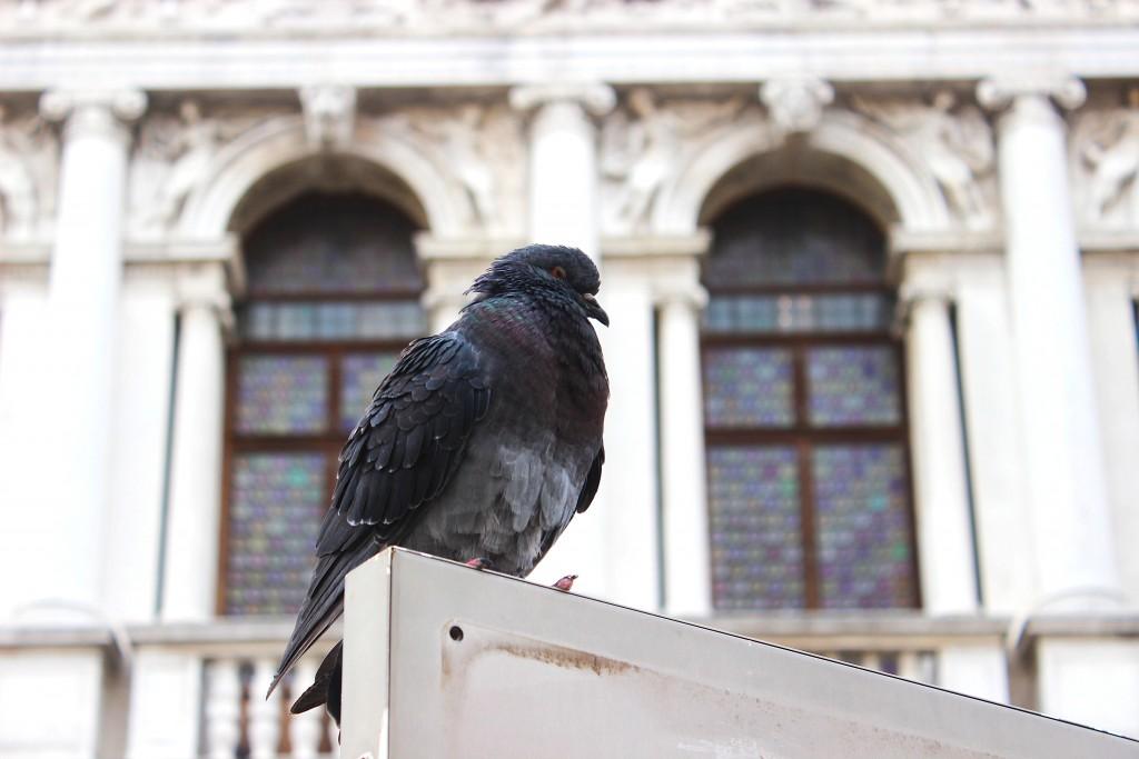 venezia_porumbel